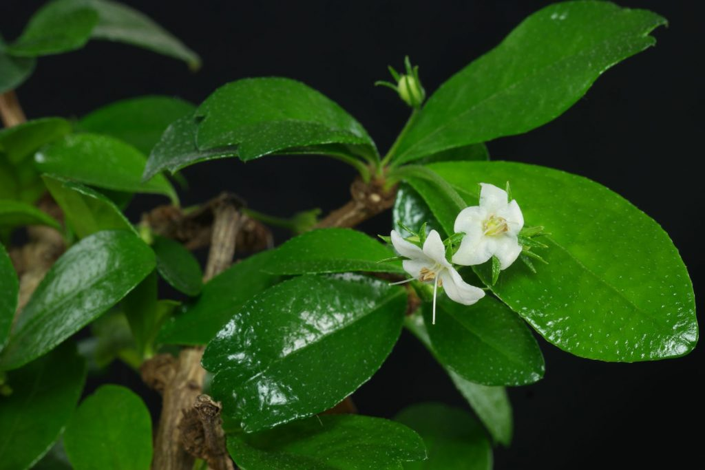 flor carmona microphylla