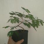 Cómo hacer bonsáis desde semilla