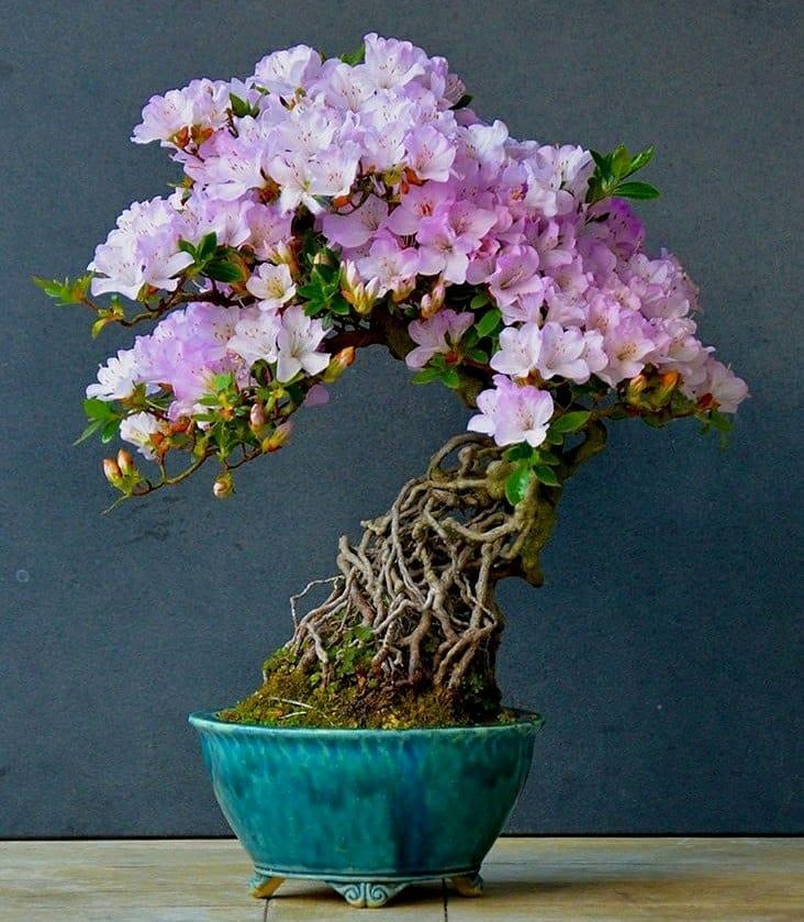 azalea con raíces expuestas, neagari