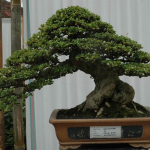 Carmona microphylla bonsai