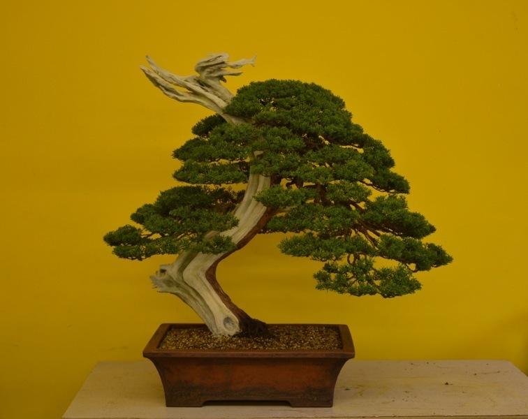 junipero itoigawa