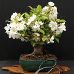 bonsai manzano