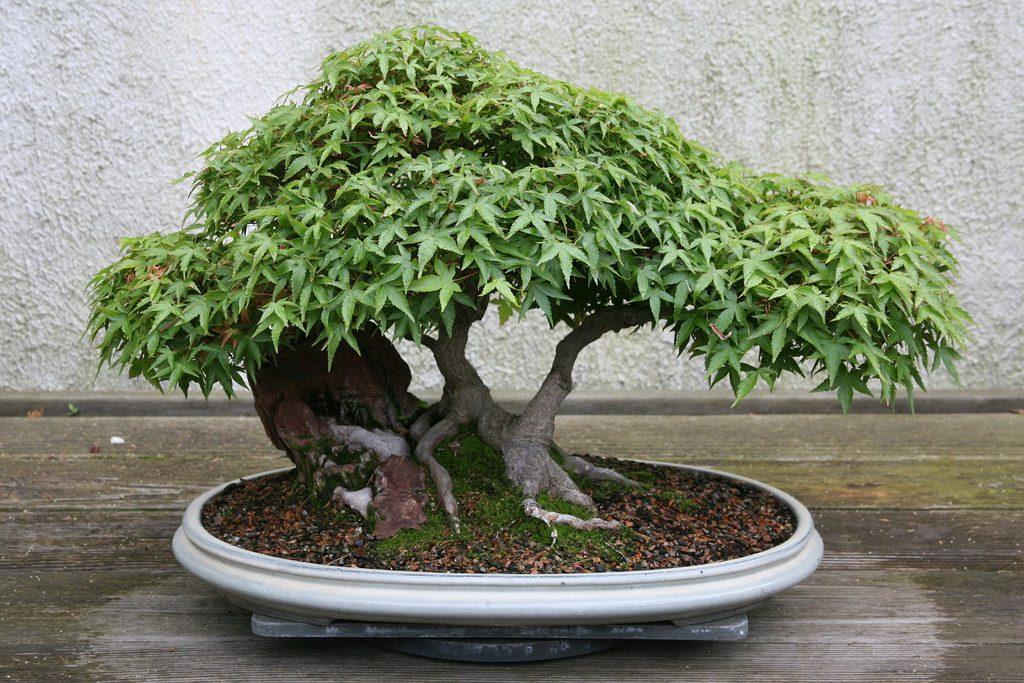 acer palmatum doble tronco
