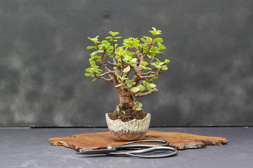 portulacaria shohin bonsai