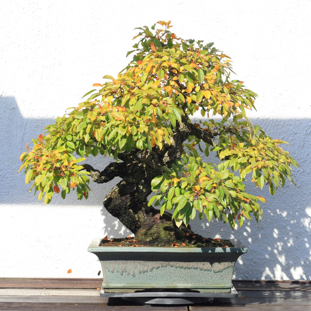 malus sieboldii bonsai