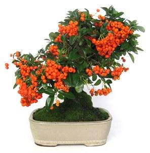 pyracantha fruto