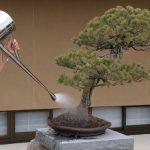 ¿Cómo regar un bonsái?