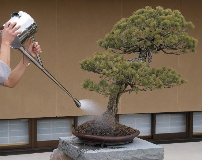 regando bonsái