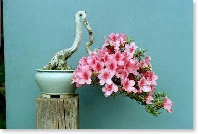 azalea semicascada