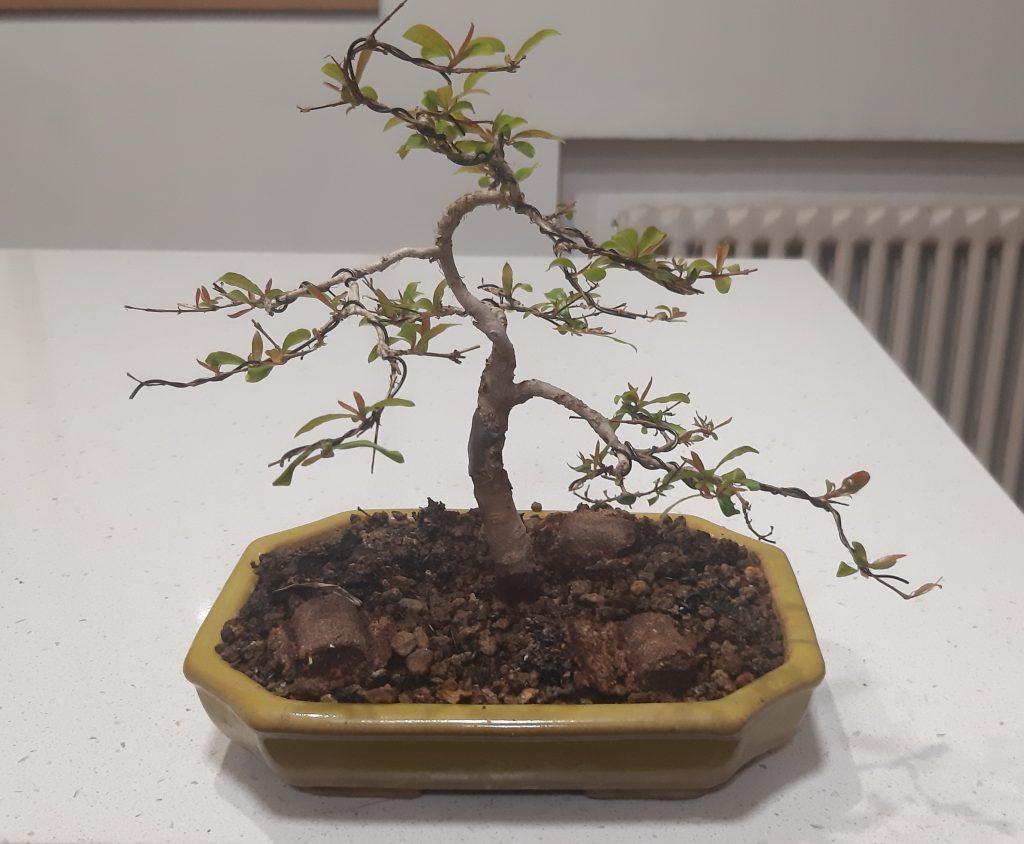 granado bonsai desde esqueje