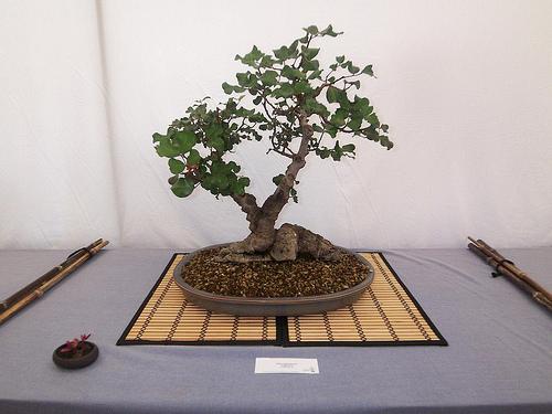 bonsái algarrobo