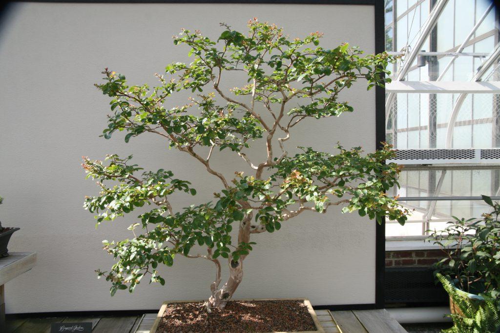 bonsái arbol de jupiter