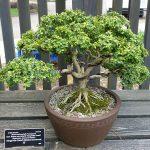Boj bonsái