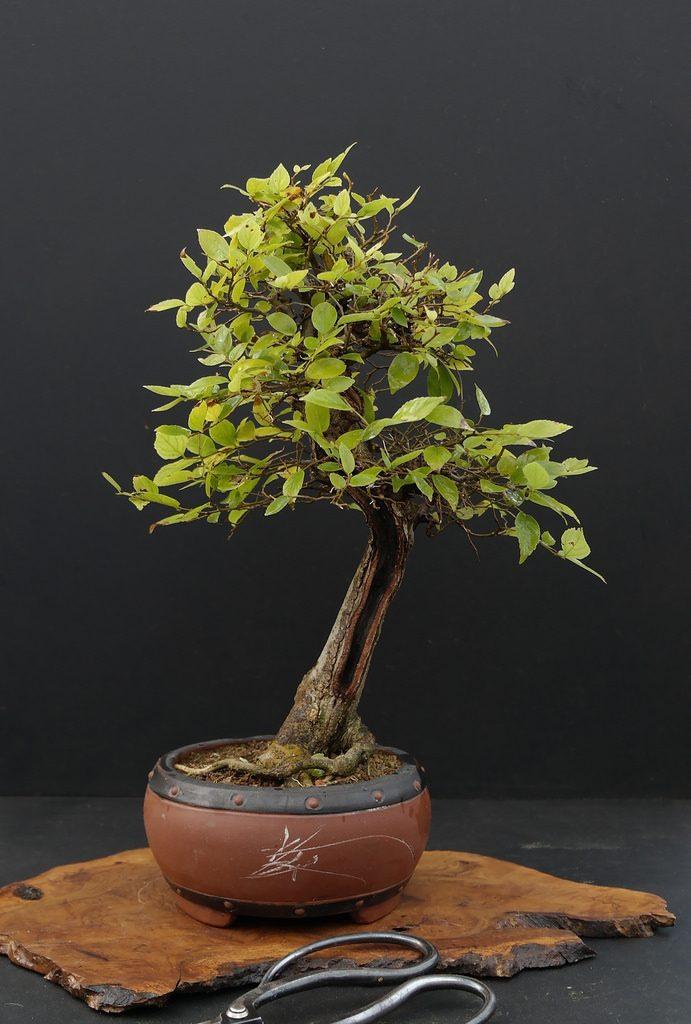 celtis bonsái