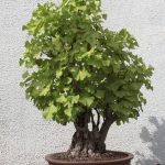Ginkgo biloba bonsái