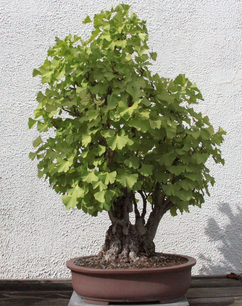 bonsái ginkgo biloba