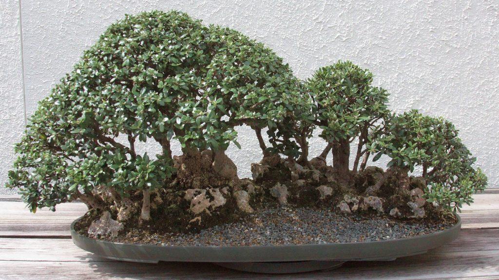 bonsai olea en grupo