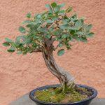 bonsai de prunus mahaleb
