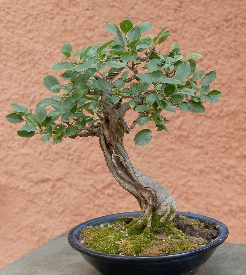 bonsái prunus mahaleb