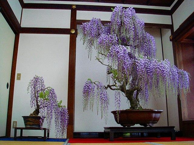 wisteria en flor