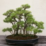 bonsai serissa