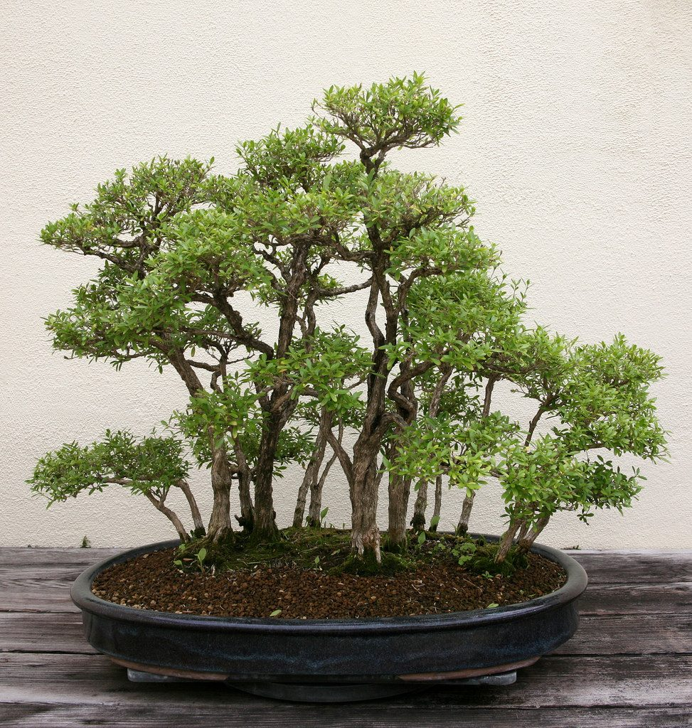 bonsai bosque serissa
