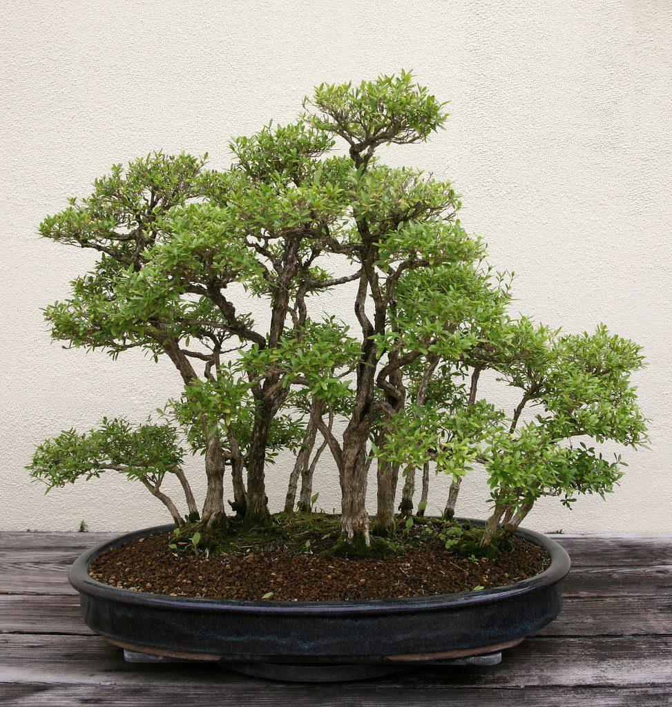 bonsai bosque serissa