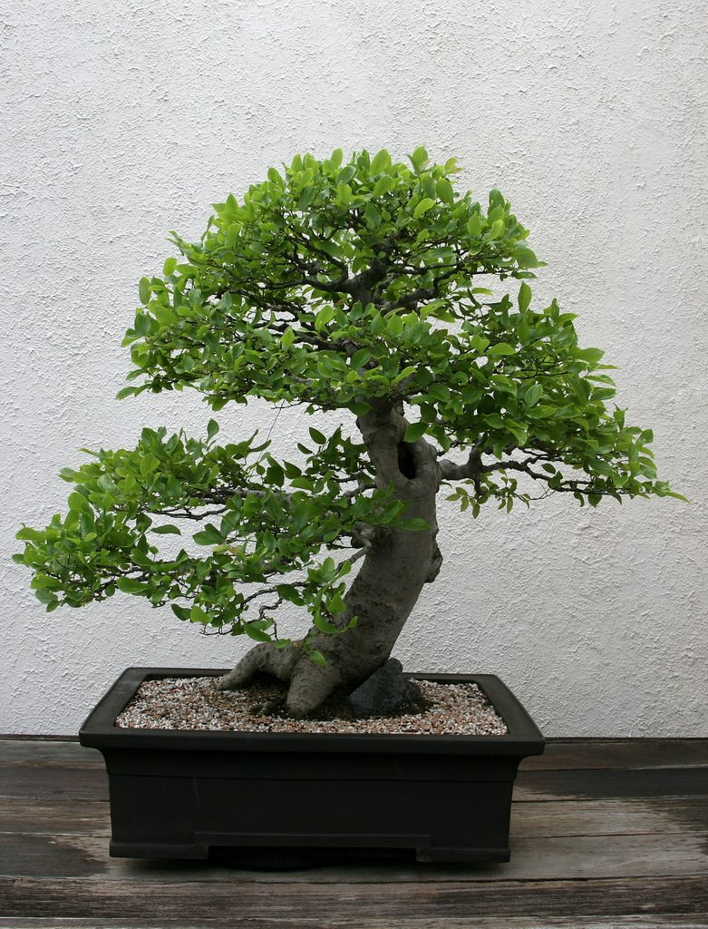 Celtis bonsai