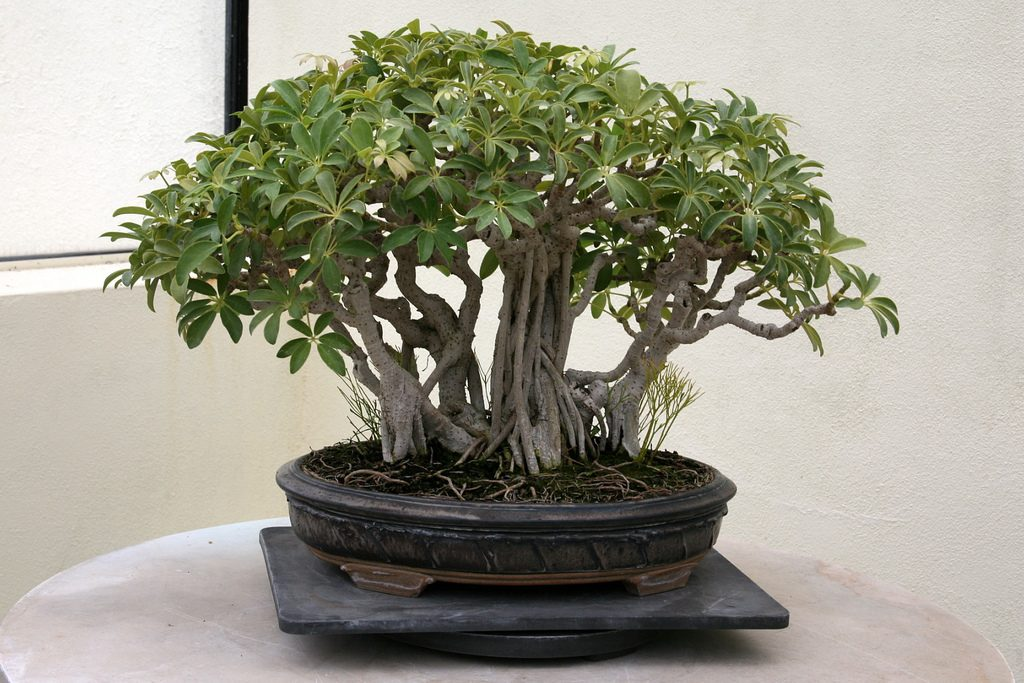 bonsai de schefflera