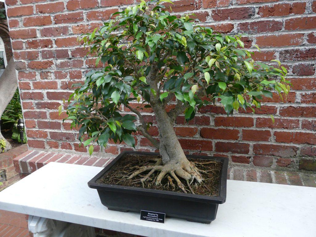 bonsái de ficus benjamina