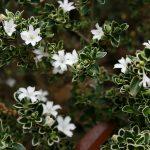 Lagerstroemia indica-árbol de Jupiter bonsái