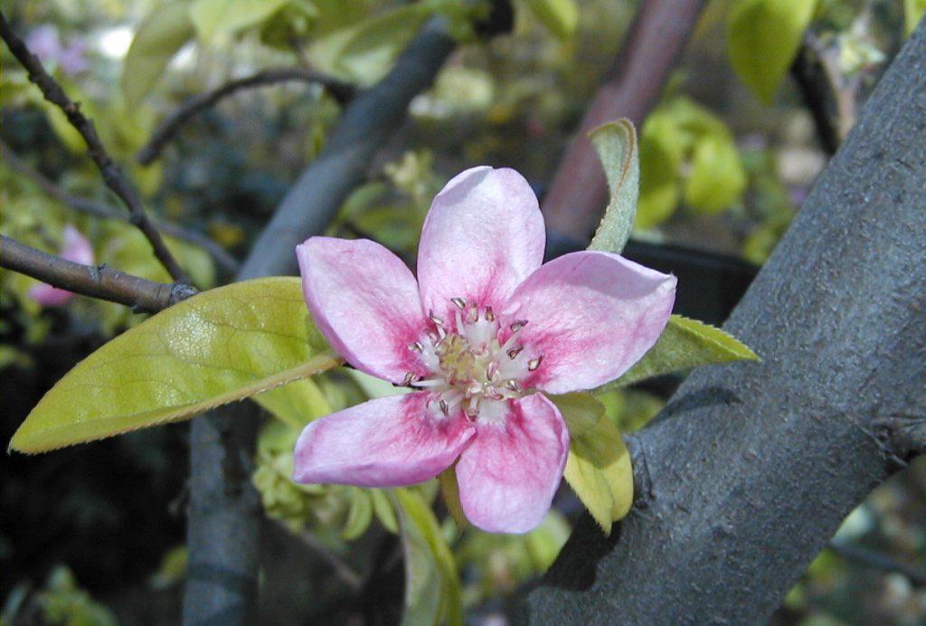 flor pseudocydonia