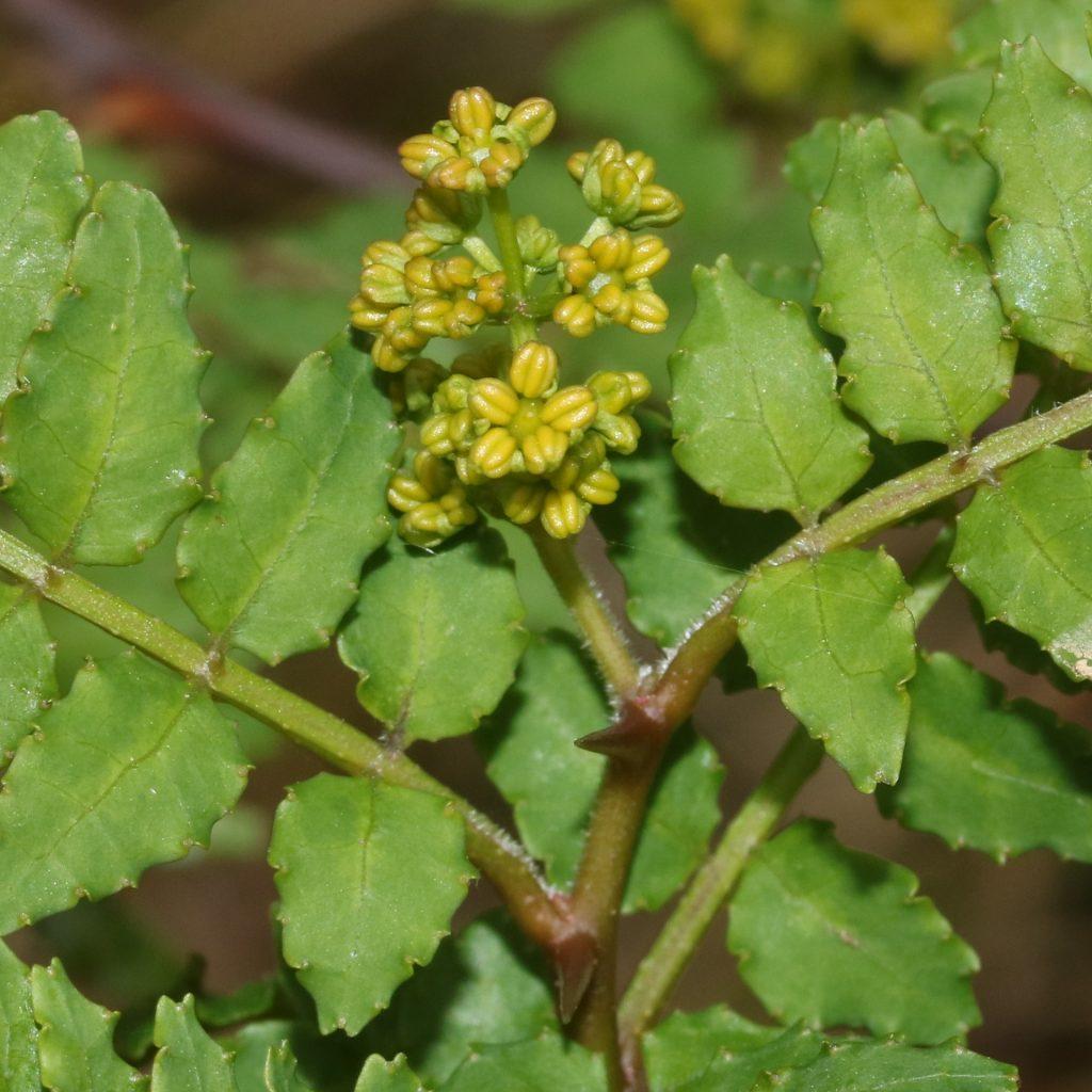 flor pimentero japonés