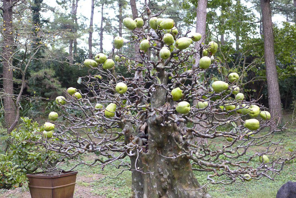 bonsai pseudocydonia
