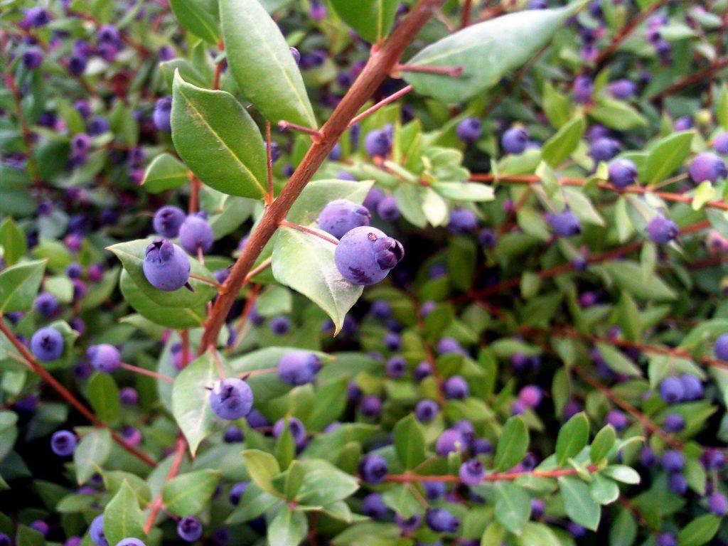 fruto de myrtus communis