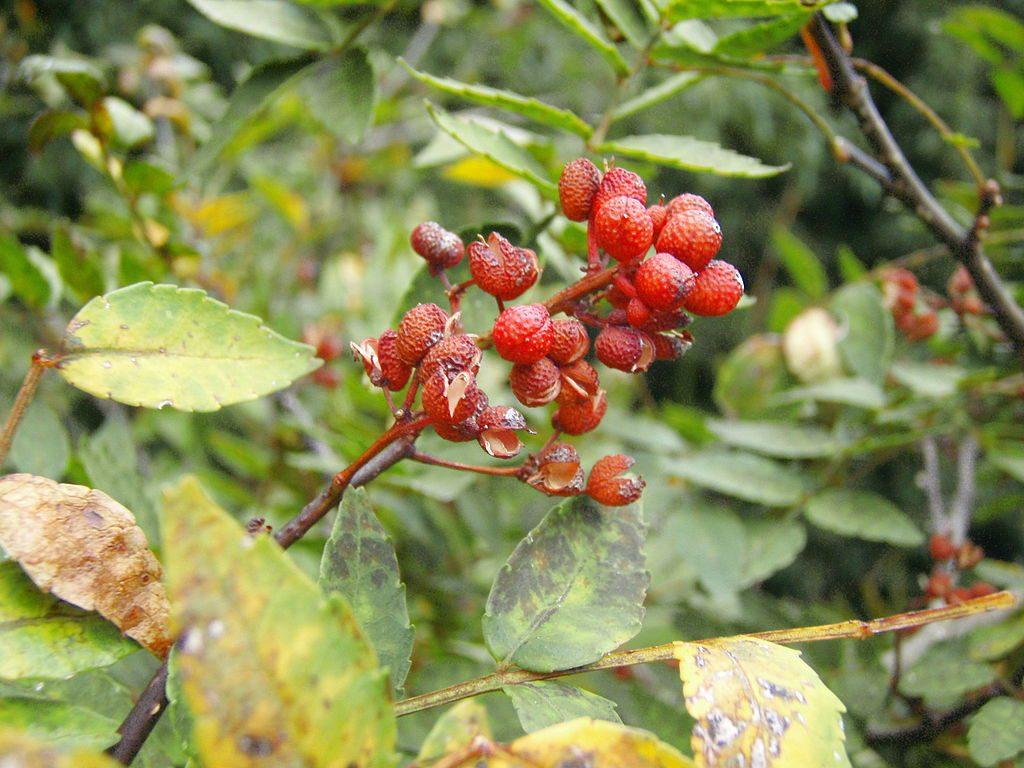 fruto zanthoxylum piperitum