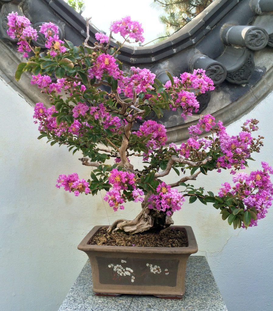bonsái lagerstroemia indica en flor