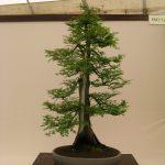 Metasaquoia bonsái
