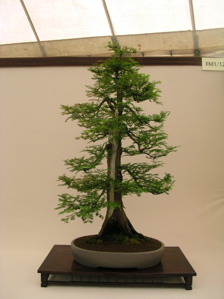 metasequoia bonsai