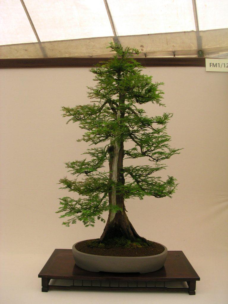 metasequoia bonsai