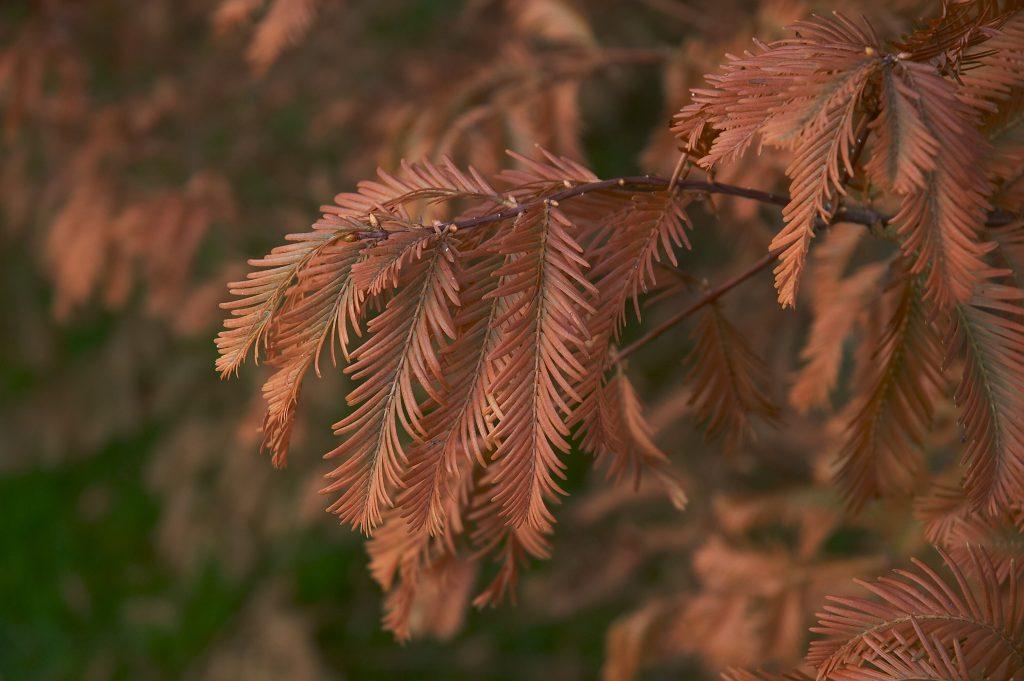 metasequoia otoñando