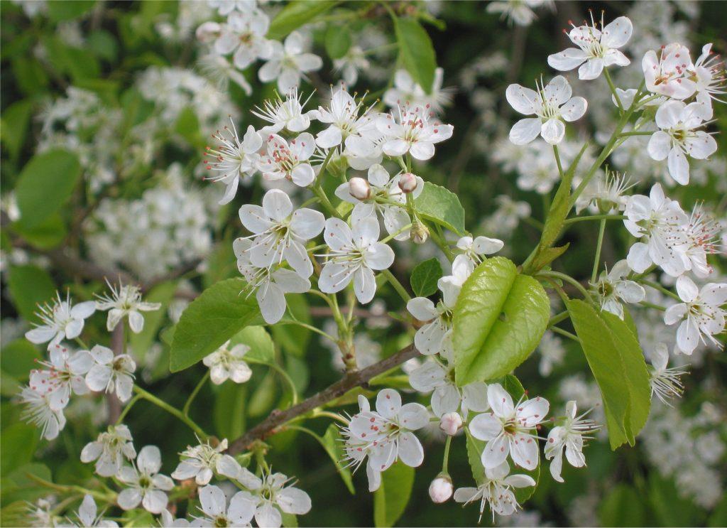 floración de prunus mahaleb