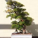 Bonsai de Sageretia