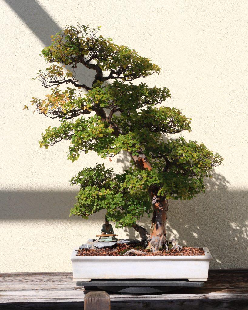 sageretia bonsai