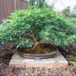 bonsai schefflera