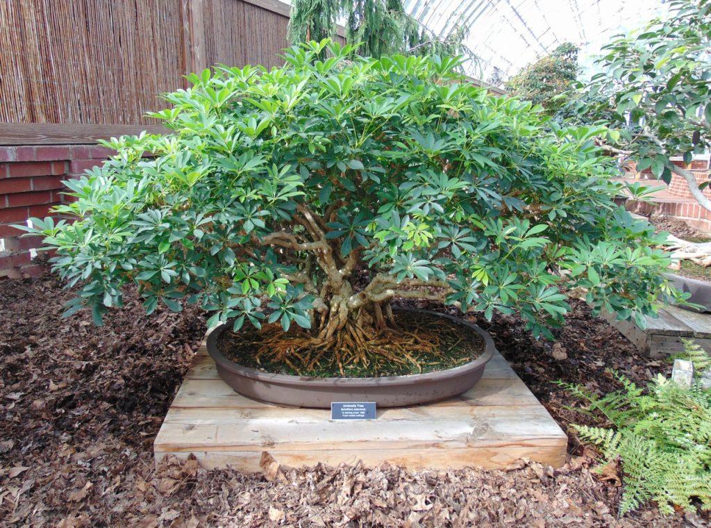 schefflera bonsái tree