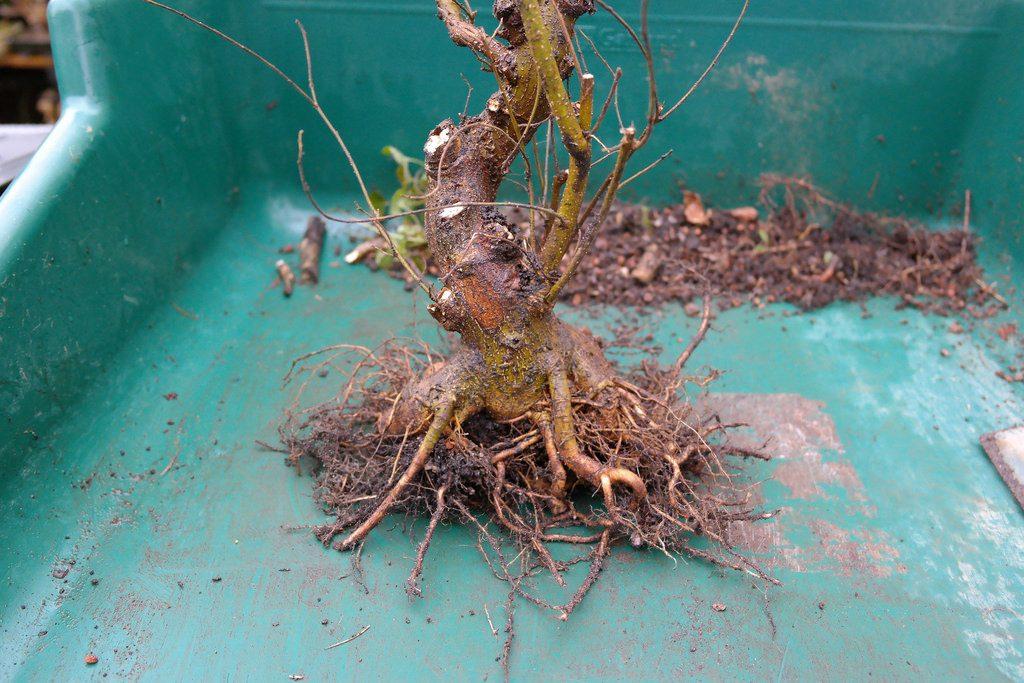 trasplante celtis bonsai