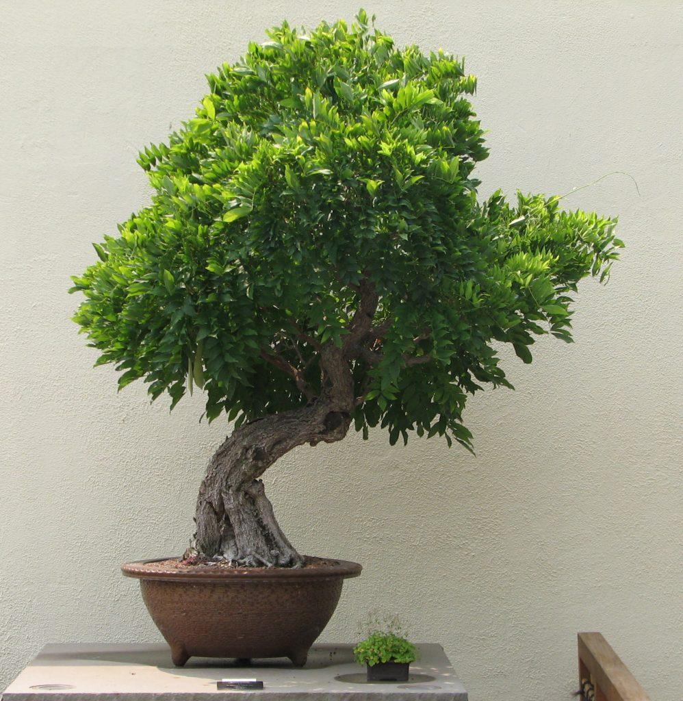wisteria grande