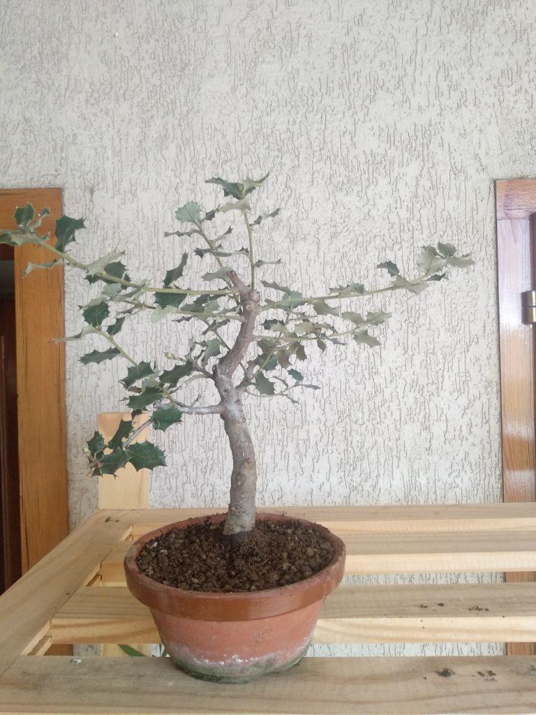 bonsai de encina