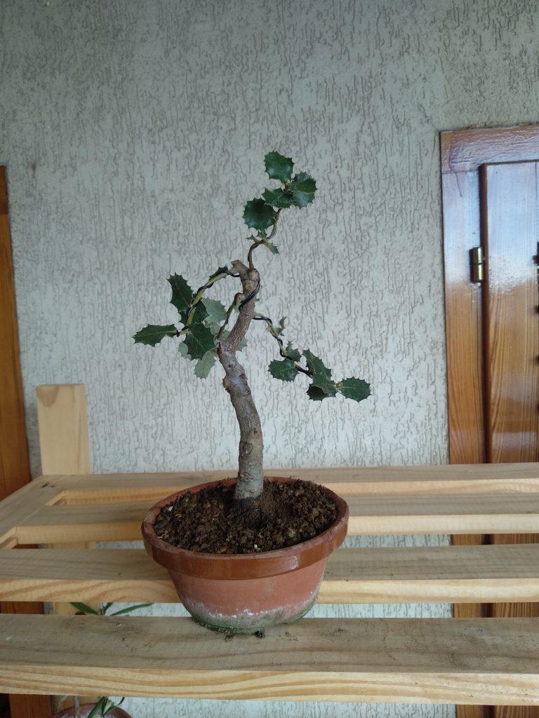 encina bonsái